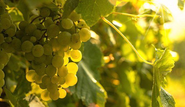 Κρασιά του Καλοκαιριού